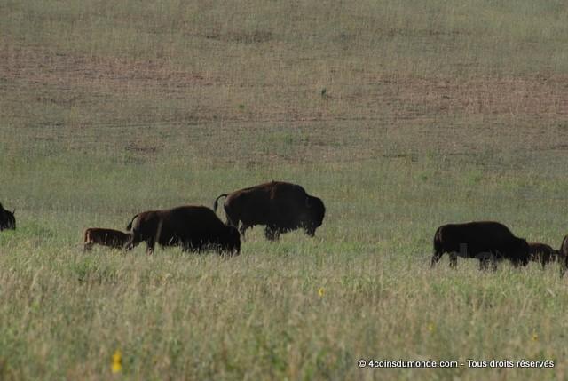 Ou voir des bisons roadtrip OUEST USA