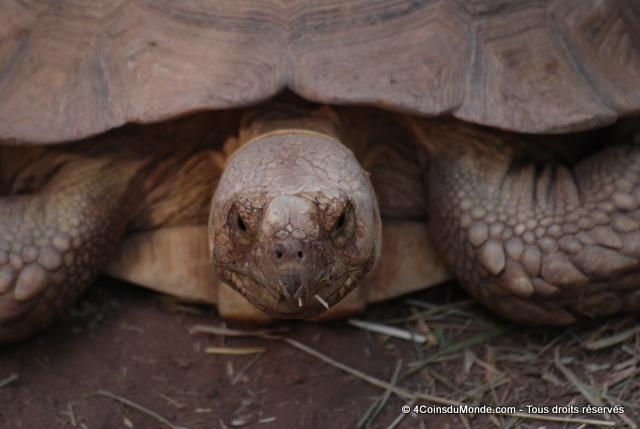 une tortue du village des tortues de Gonfaron dans le var